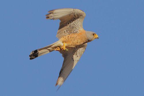 Cernícalo primilla (Falco naumanni)
