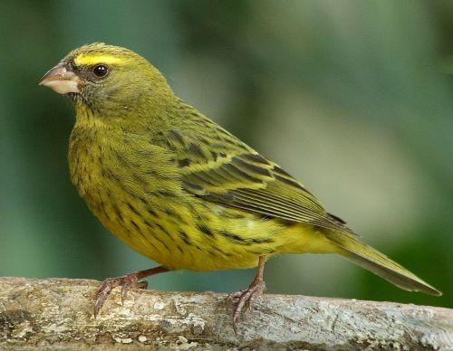 Verdecillo, chamarín (Serinus serinus)