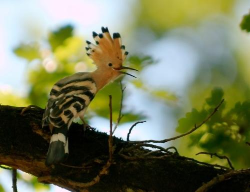 Abubilla, abubilla pestosa o gallo de monte (Upupa epops)